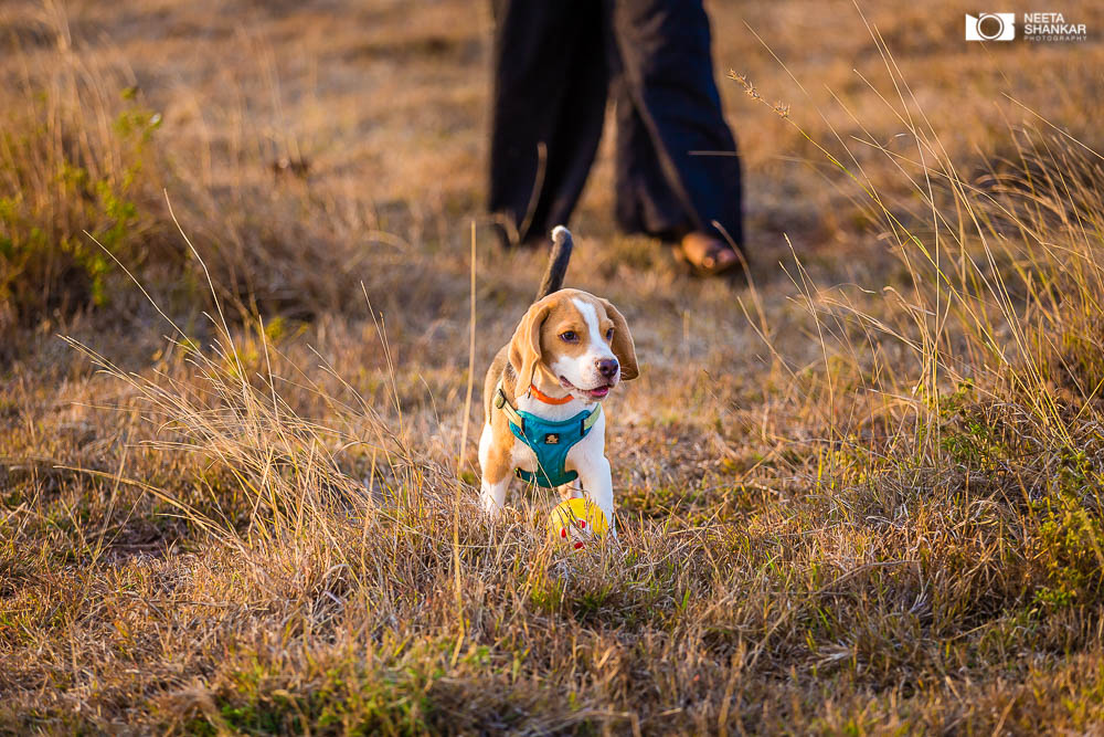 Neeta-Shankar-Photography-Best-Pet-Photographer-Bangalore-India-beautiful-Beagle-Puppy-Photos-dog-tie-bow